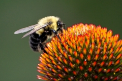 Fav_Bee_coneflower